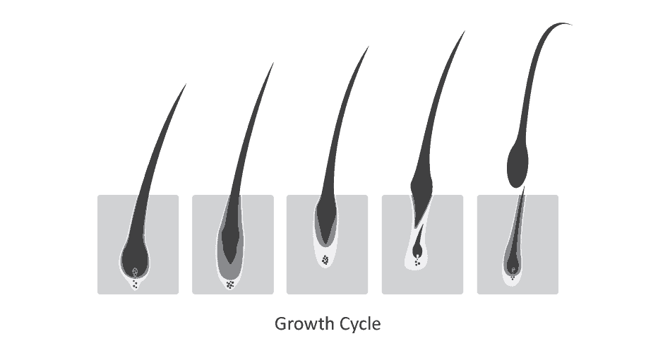 Eyelashes during the various stages of the growth cycle